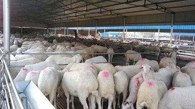 大畜网优质供应商:嘉祥县农丰牛羊养殖场