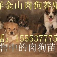 大畜网优质供应商:嘉祥金山肉狗养殖场