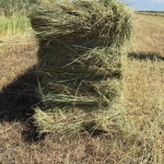 马场专用牧草 东北