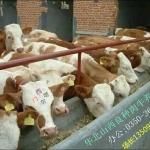 出售良种肉牛犊优质
