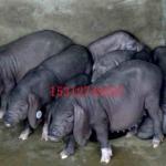 太湖母猪产仔王包防