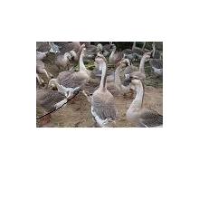 大畜网优质供应商:惠丰家禽养殖公司
