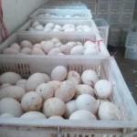 批发头照鹅蛋鲜蛋种