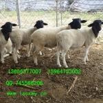供应山东纯种黑头杜泊羊养殖场